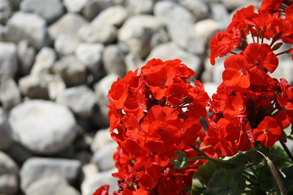 Red geraniums against a rock background